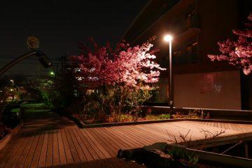 🌞 昨晩の河津桜! 🌞